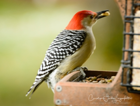 And so does the red-bellied woodpecker.