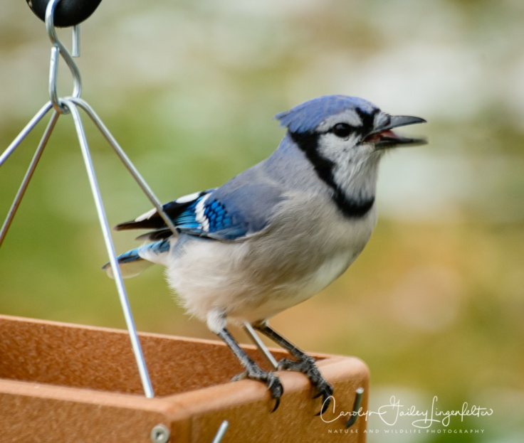 This bluejay is announcing his satisfaction.