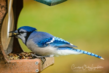 Bluejays like perching on this feeder.