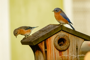 Mr. and Mrs. Bluebird