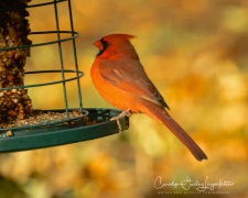 Northern cardinal at the seed cylinder.