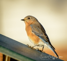 Both male and female bluebirds visited this week.