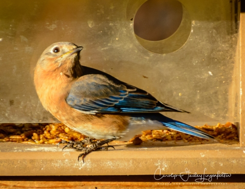 Bluebirds like dried mealworms.