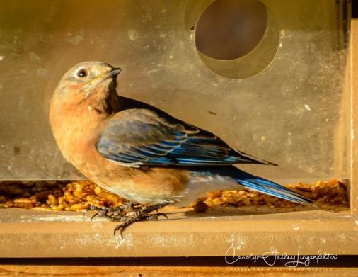 Bluebirds like dried mealworms.