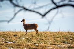 Several deer on the hillside