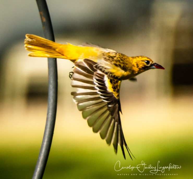 2020_06_16__Backyard birding_0030