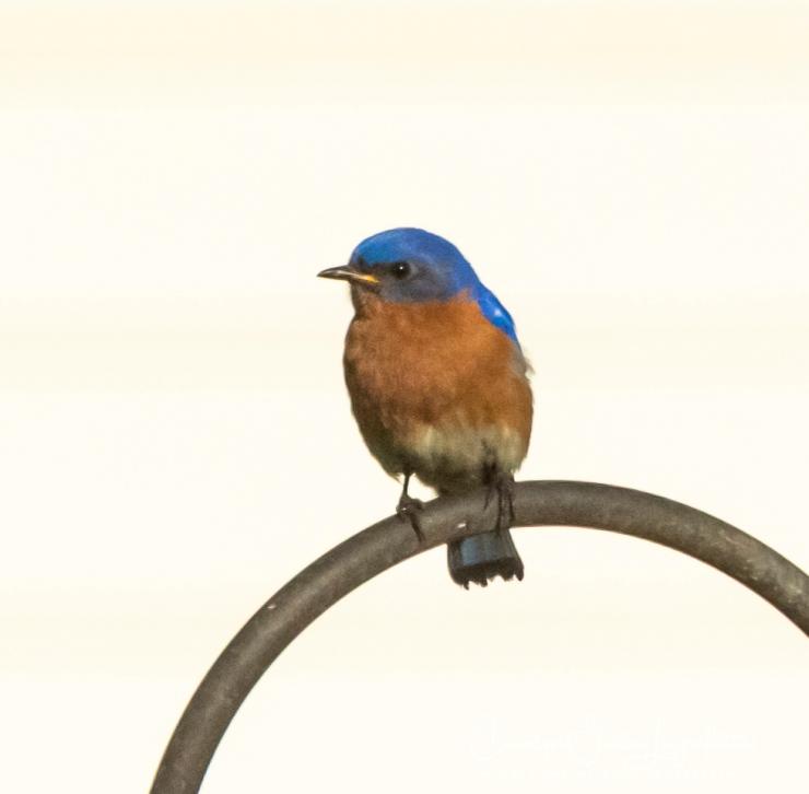 2020_06_30__Backyard birding_0001