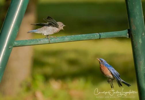 2020_06_30__Backyard birding_0004-2